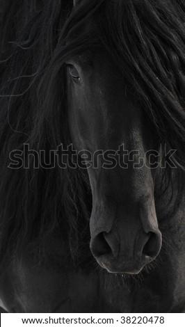 Black Friesian Horse Portrait close up - stock photo