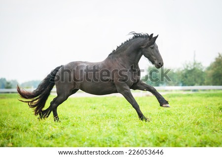 Black friesian horse running on the pasture