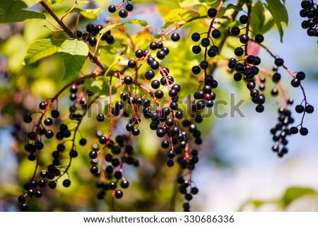 Black fruits elderberry on background green leaf - stock photo