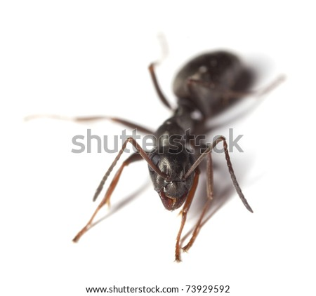 Black garden ant (Lasius niger) isolated on white background