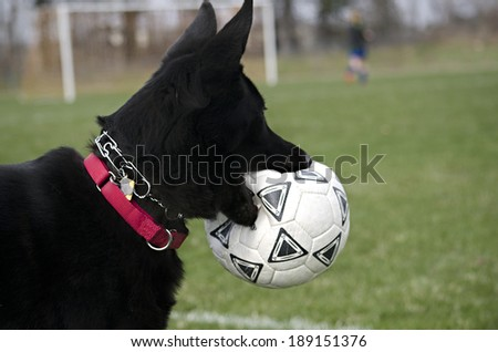 Black German shepherd with soccer ball in its mouth - stock photo