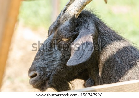 Black Goat Portrait - stock photo