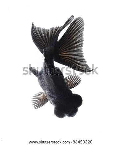 BLACK goldfish isolated on white background - stock photo