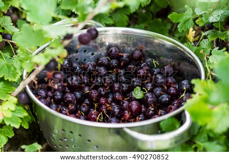 stock-photo-black-gooseberries-freshly-p