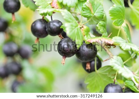 Black gooseberries growing on the bush. The edible fruits are ripe and ready to pick. (Ribes grossularia black cultivar) - stock photo