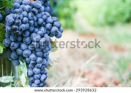 Black grape for red wine - stock photo