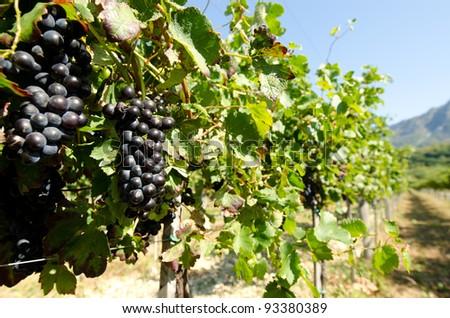 Black grape in vineyard before harvest - stock photo