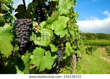 Black grapes vineyard  grown for wine making in the region of Alsace, France. - stock photo