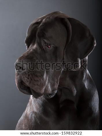 black great dane dog on dark gray background - stock photo