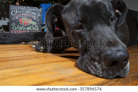 Black Great Dane next to a Christmas tree that looks depressed - stock photo
