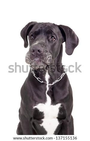 Black Great Dane, on the white background - stock photo