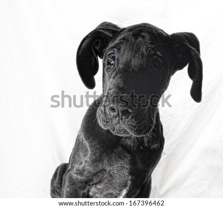 Black great Dane puppy that looks like it has been caught at something