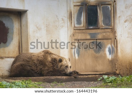Black grizzly bears close up portrait - stock photo
