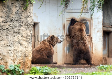 Black grizzly bears while trying to enter inside a house - stock photo