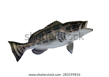 Black Grouper fish mount isolated with white background - stock photo