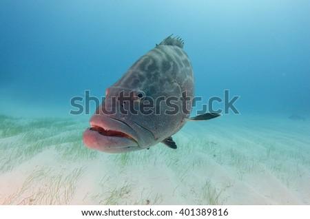 Black Grouper in the Bahamas - stock photo