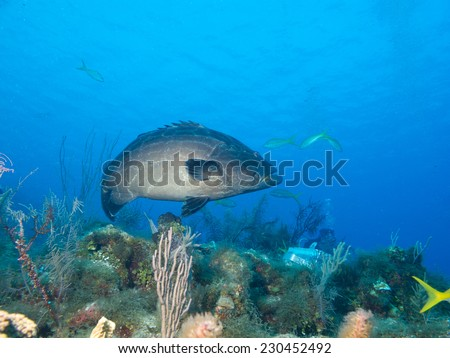 black grouper (Mycteroperca bonaci) is one of the best known of the large group of perciform fish called groupers - stock photo