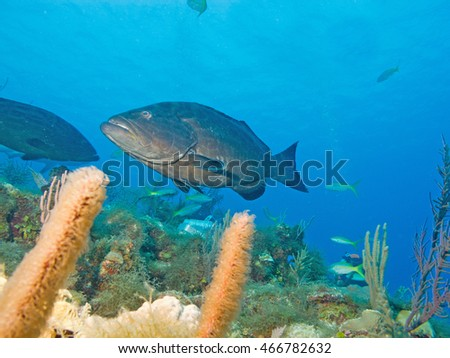 black grouper (Mycteroperca bonaci), under water cuba