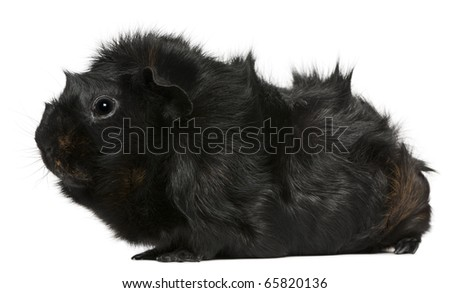 Black guinea pig, 3 years old, in front of white background - stock photo