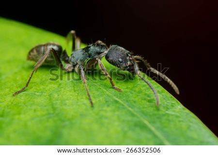 Black Hairy Ant - stock photo