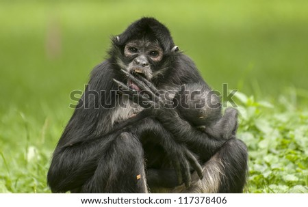 Black-handed spider monkey - stock photo