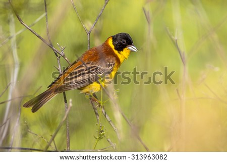 Black headed Bunting (Emberiza melanocephala) perched in the bushes and looking in the camera - stock photo