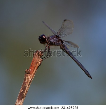 Black headed dragonfly on a dead twig waiting for a meal