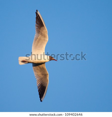 black-headed gull bird flying in blue sky - stock photo