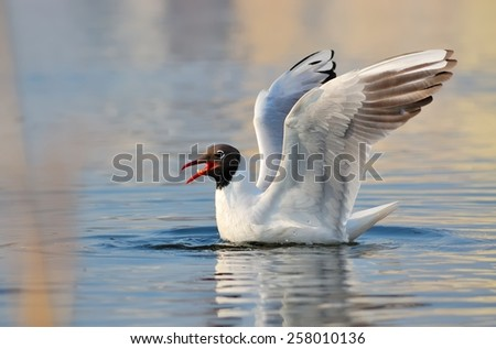 Black-headed gull (Chroicocephalus ridibundus) - stock photo
