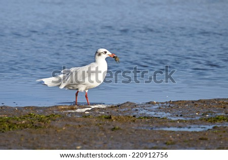 Black headed gull (Chroicocephalus ridibundus) catching a crab. - stock photo