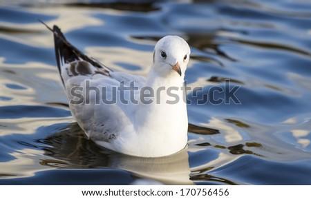 Black-headed gull (Chroicocephalus ridibundus) in winter plumage on water - stock photo