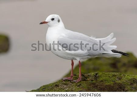 Black-headed Gull ( Chroicocephalus ridibundus ) , resting on the rocks - stock photo