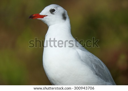 Black-headed Gull (Larus ridibundus),  - stock photo