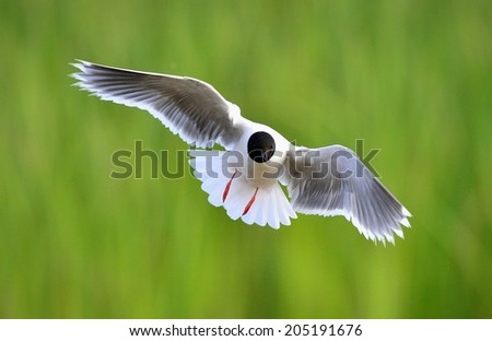 Black-headed Gull (Larus ridibundus) in flight on the green grass background. Front - stock photo
