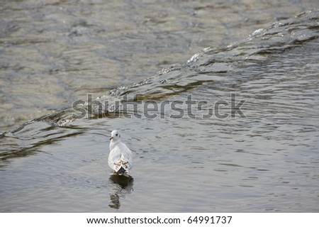 Black Headed Gull(Larus Ridibundus) in japanese river, Kyoto