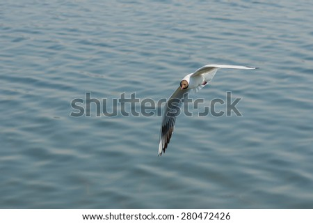 Black-headed gull making flight over Dnepr river in Ukraine