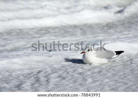 Black-headed gull sitting in the snow