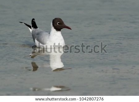 Black-headed gull swimming at Busaiteen coast, Bahrain