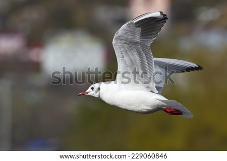 Black-headed gull which flies over the lake in autumn day