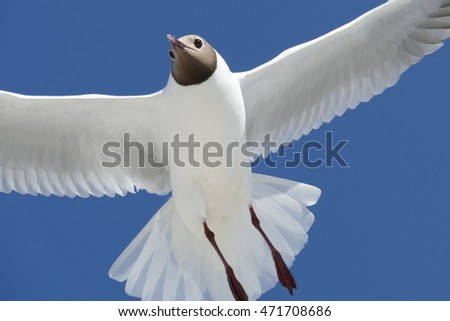 Black-headed seagull flying against a blue sky background