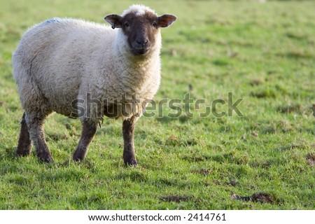 Black headed sheep in green field side-lit by dawn light - stock photo