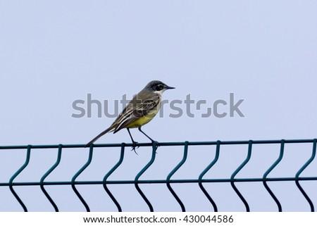 Black-headed Wagtail (Motacilla feldegg, Motacilla flava feldegg). Russia, Sochi (Adler). - stock photo