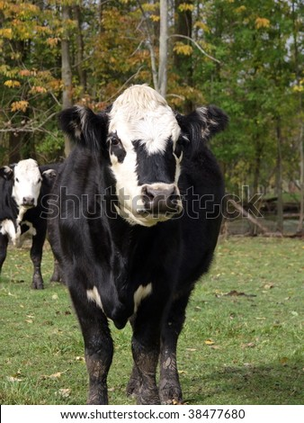 Black Hereford or Black Baldy cow a cross between Hereford and Black Angus looking at the camera. - stock photo