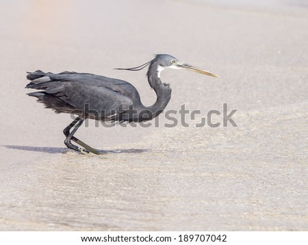 black heron hunting - stock photo
