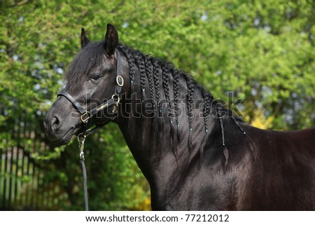 Black hispanoarabian horse
