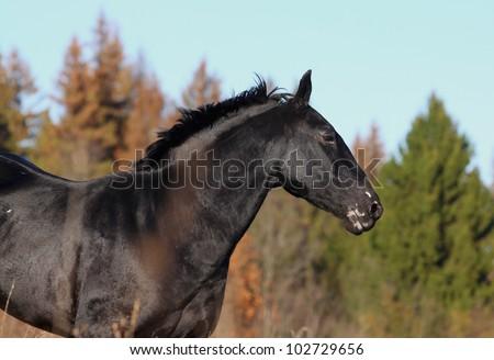 black horse - stock photo