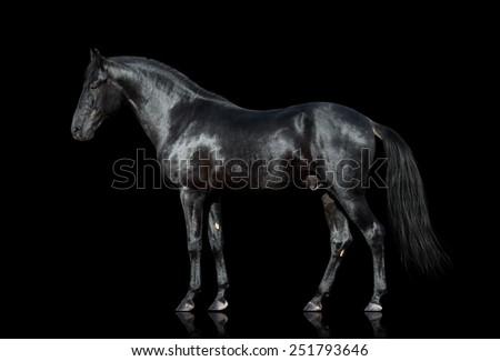 Black horse. Black horse isolated. Black horse cutout on black background. - stock photo