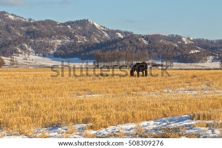 black horse eats mowed yellow grass in the field on Altai snow mountains, winter, Siberia, Russia