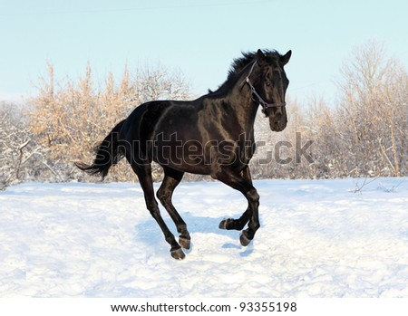Black horse gallop in winter sunset - stock photo
