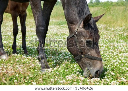 Black horse grazing in meadow close-up - stock photo